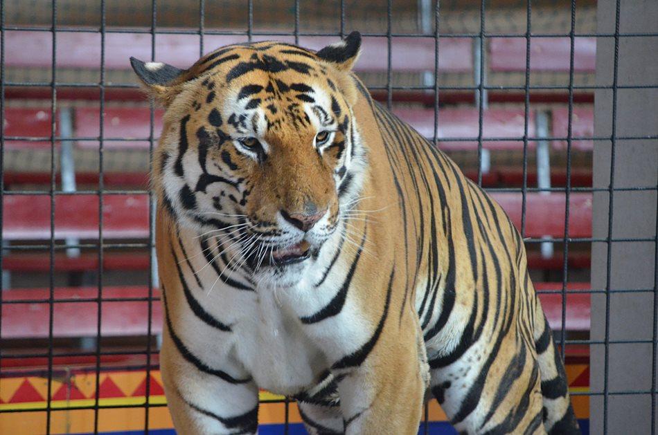 beutetiere des tigers